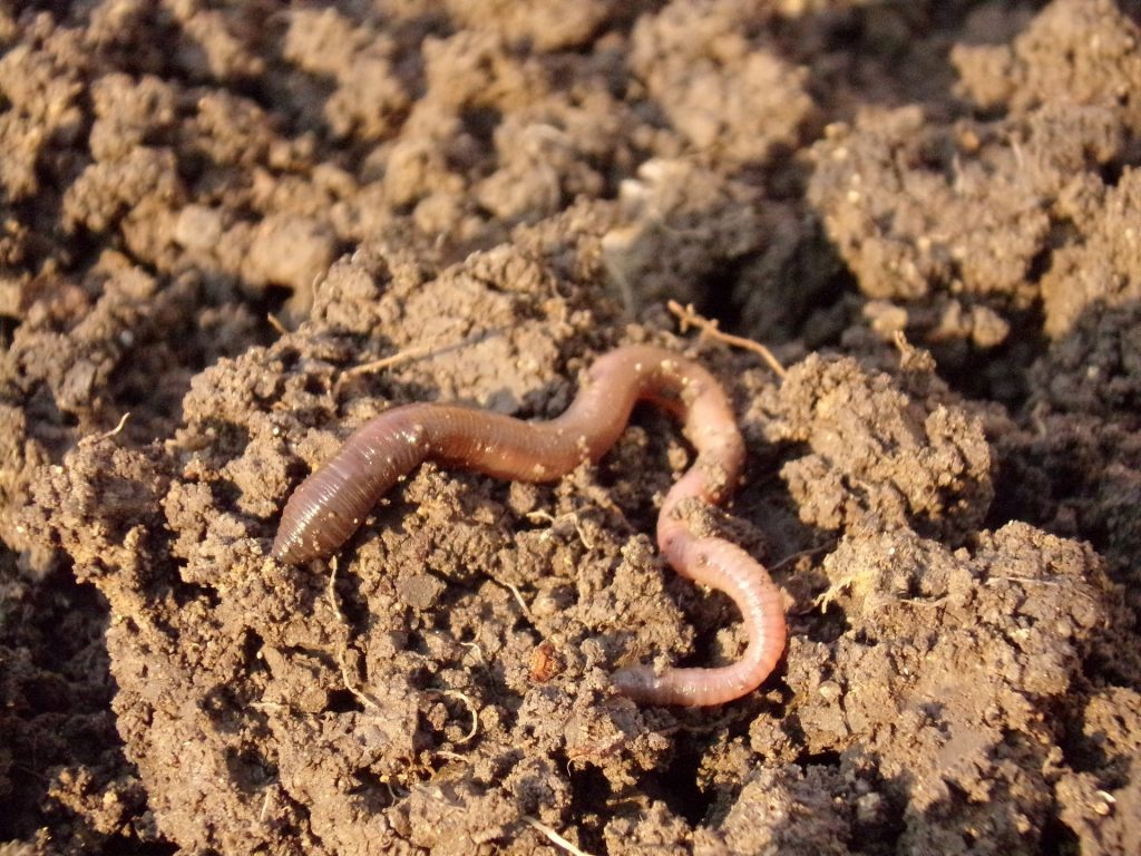 earthworm_soil
